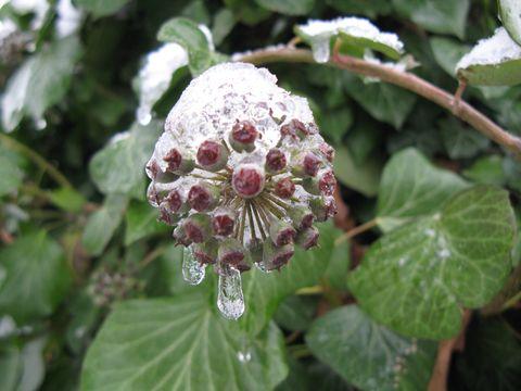 PflanzenEisThaleHarz1